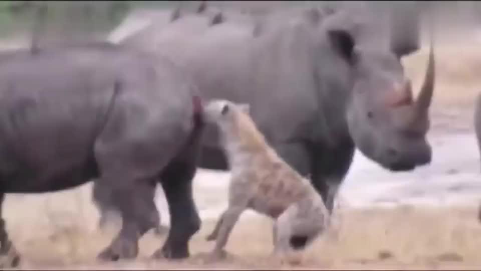 鬣狗向犀牛发起进攻,竟从犀牛最薄弱的地方下手,犀牛惨了!