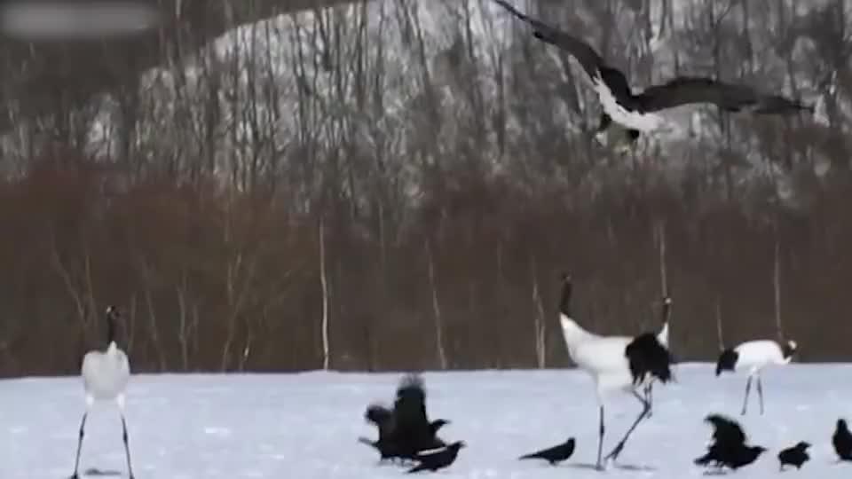 老鹰捕食丹顶鹤,面对老鹰的攻击,丹顶鹤不慌不忙一招解除危机