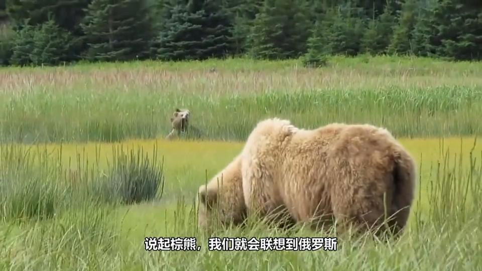俄罗斯的棕熊,现实版的小熊维尼主动找人类打雪仗,真是憨态可掬