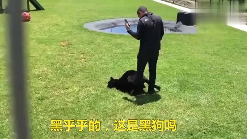 黑乎乎的,以为是一只狗,细看才知道是黑豹