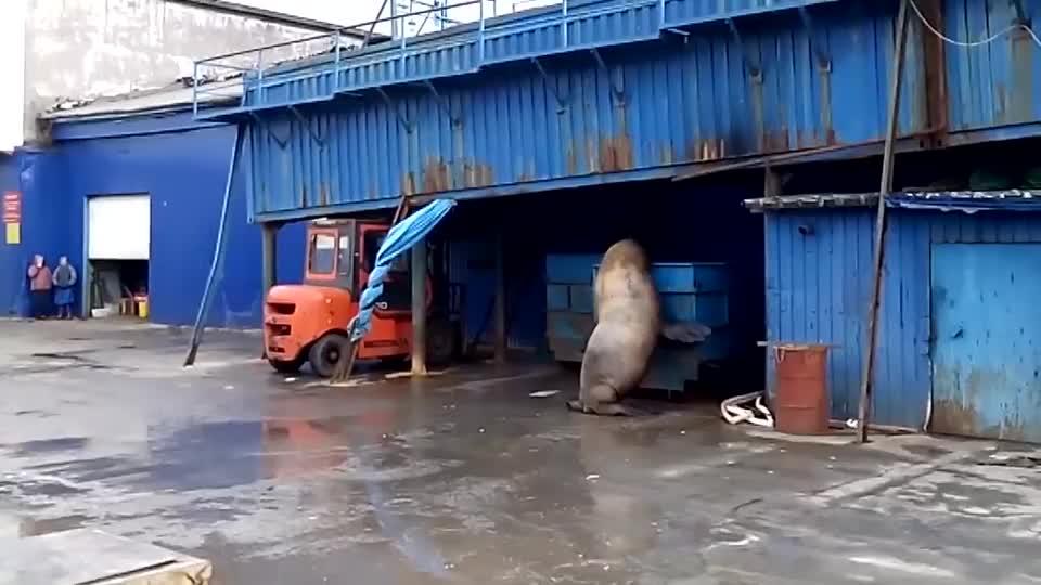 海狮上岸偷吃海鲜店的鱼,结果被主人发现,下一秒别笑