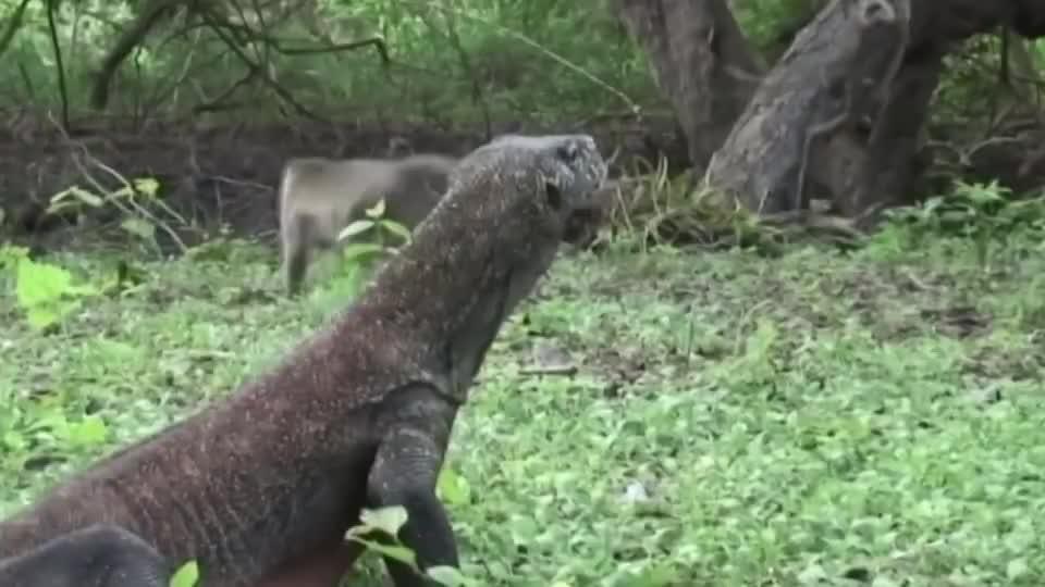 猴子偷吃科莫多龙的蛋,被逮个正着,还没来得及跑就完了