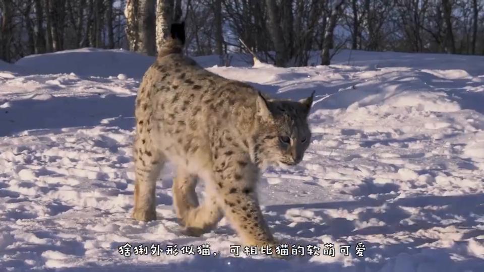 猞猁捕猎比自己大十倍的鹿,成功扑倒在雪地里,镜头记录精彩全程