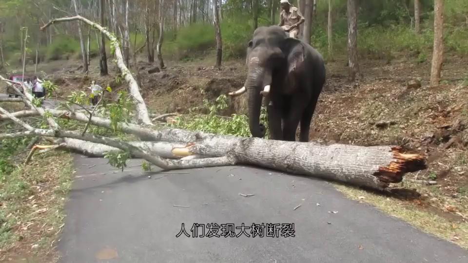 大象陷入泥潭,救援人员赶紧开来挖掘机,镜头记录全过程