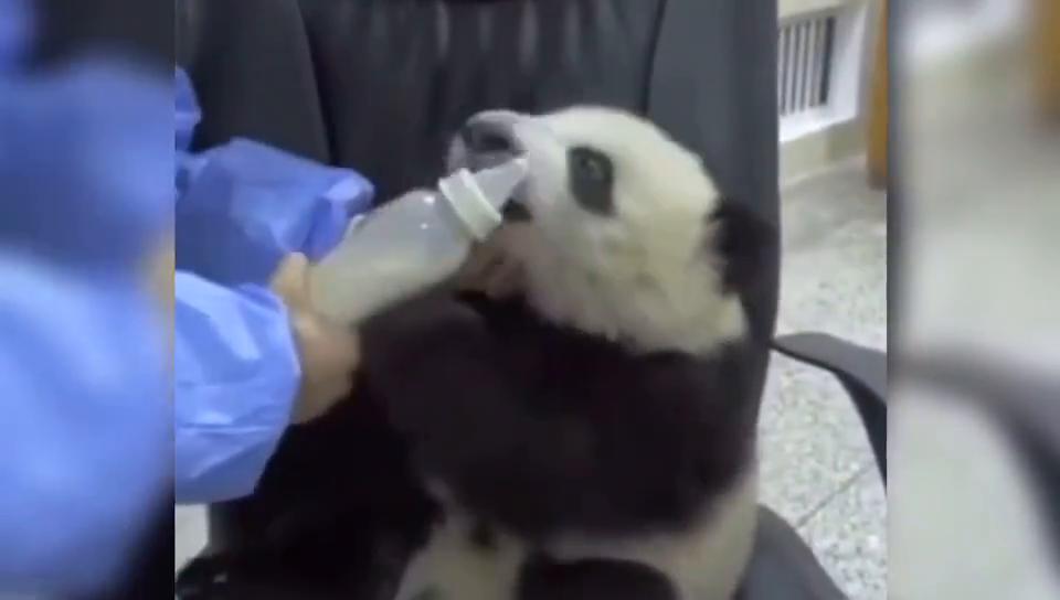 萌宠:一只爱撒娇的熊猫宝宝,饲养员不抱就不喝奶嘤嘤,太萌了