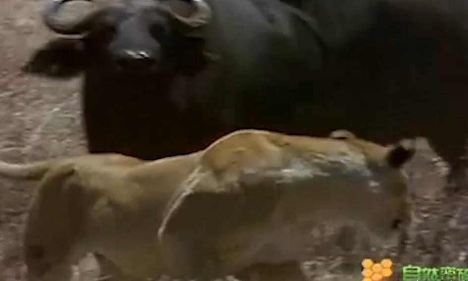 孩子被狮子叼走,母牛扬起牛角,与狮子近身肉搏