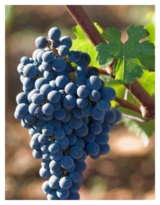 小赫说葡萄品种 ——  赤霞珠