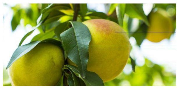 晚熟黄桃膨大期喷这2种肥,果个大果型好,提高产量及质量