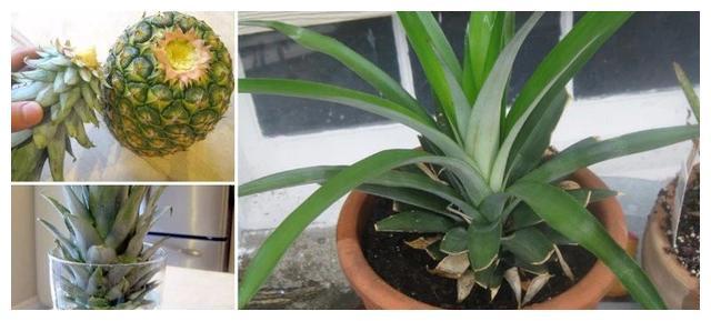 吃剩的菠萝头,泡一泡,又结小菠萝,耗费2年,值不值呢