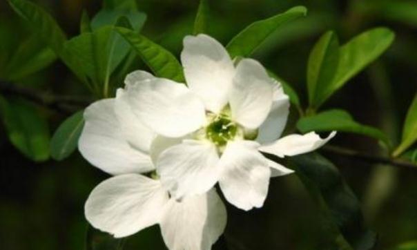 此花洁白如玉,远远望去犹如春天里的一片雪海,令人赏心悦目
