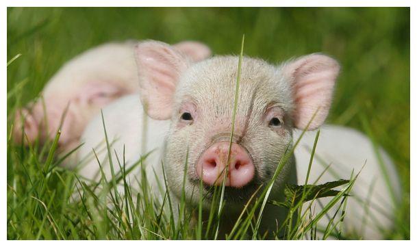 """生肖猪之人:11月初记得留意""""这个人"""",他是你未来2个月的小人"""
