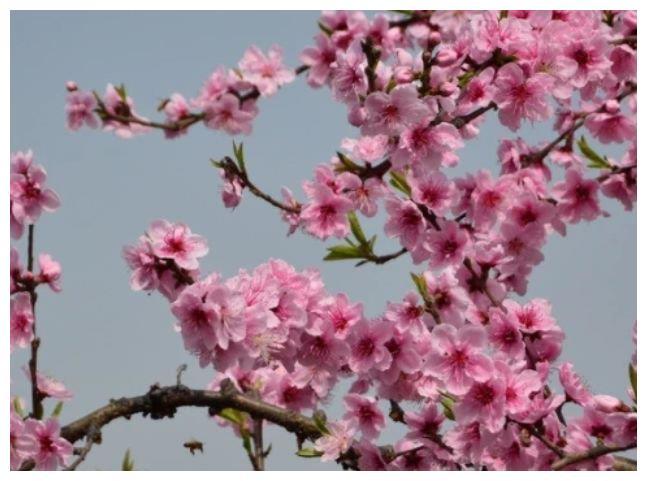 情感测试:第一眼觉得哪个桃花开的最旺盛?测你今年能苦尽甘来吗