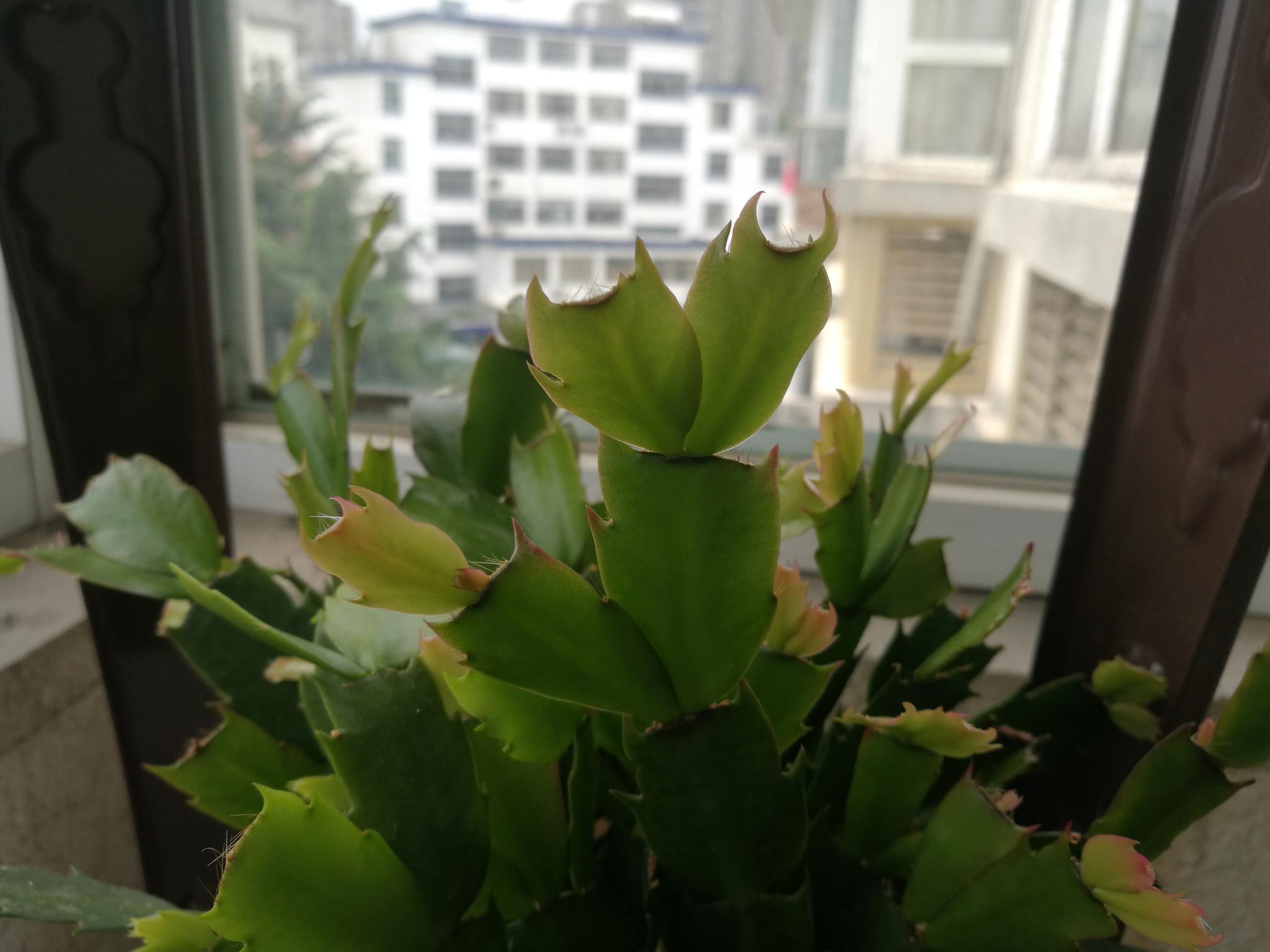 五月二十九日,来阳台上看看蟹爪兰