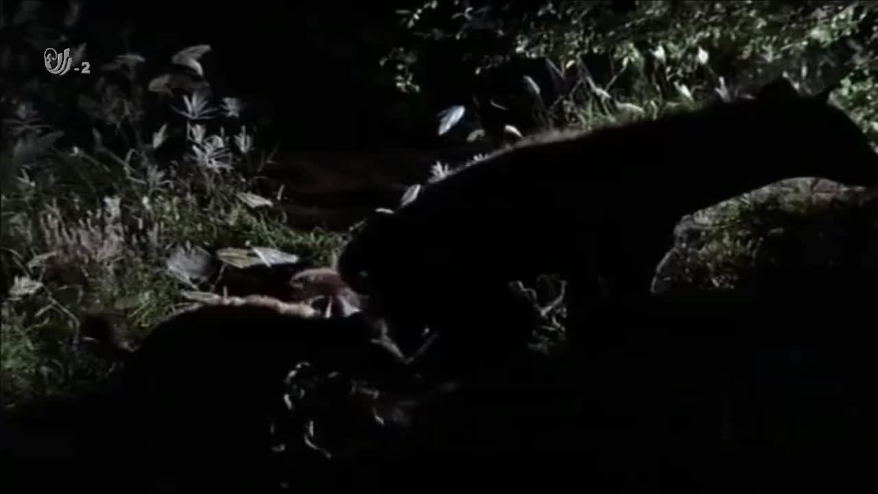 鬣狗的幼崽存活率很高,它们共同生活,分工明确共同抵御外敌