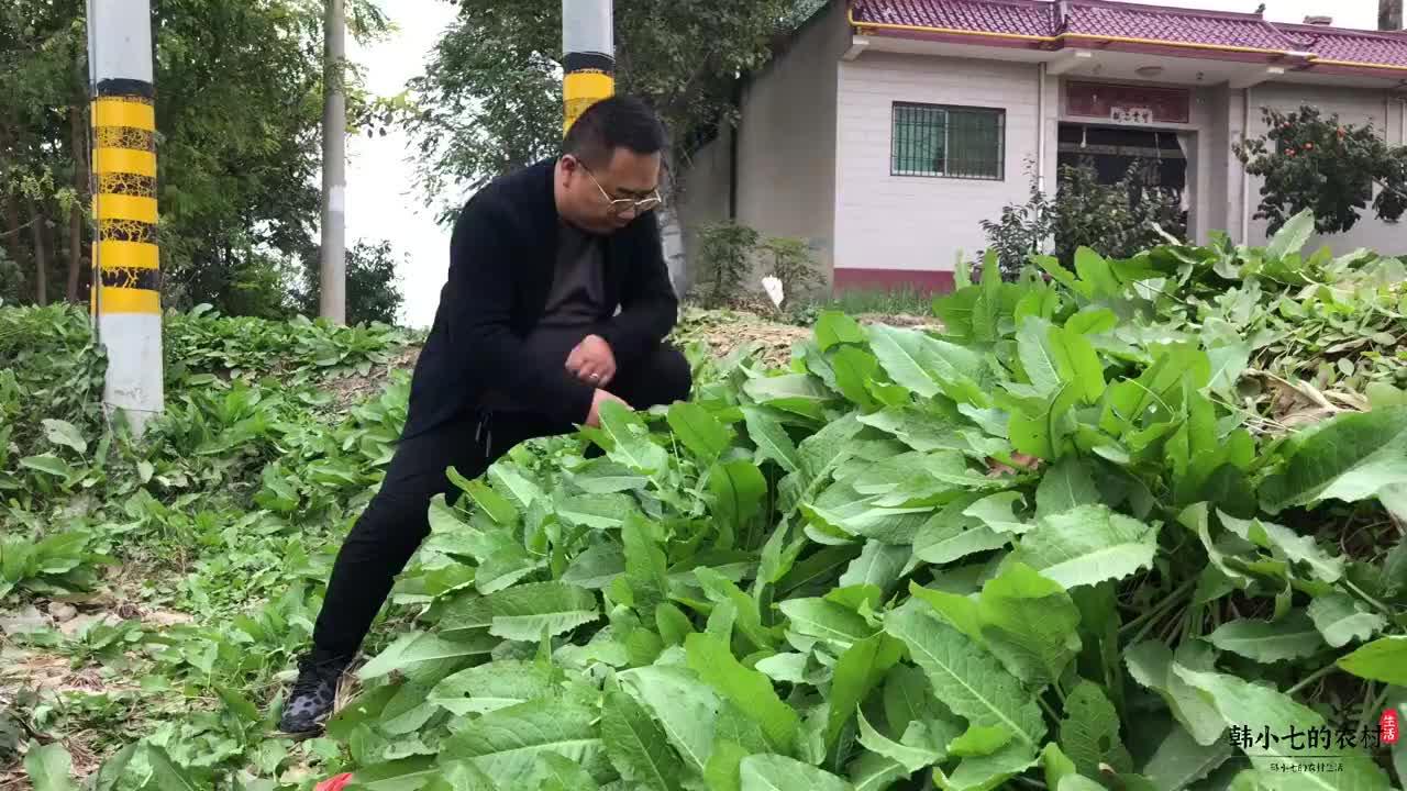 """深秋野菜齐冒头,这种野菠菜也叫""""牛舌头""""草,不认识的千万别吃"""