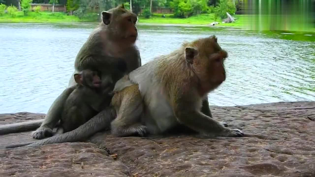 失去布列塔尼的猴妈显得很寂寞,陪在莱拉和卢卡斯身边