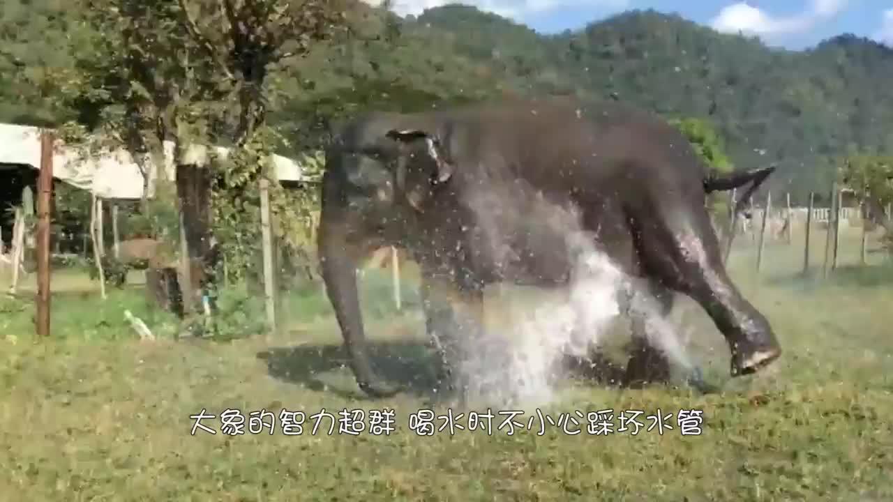 大象喝水不料踩坏水管,清水喷涌而出,大象的举动笑了