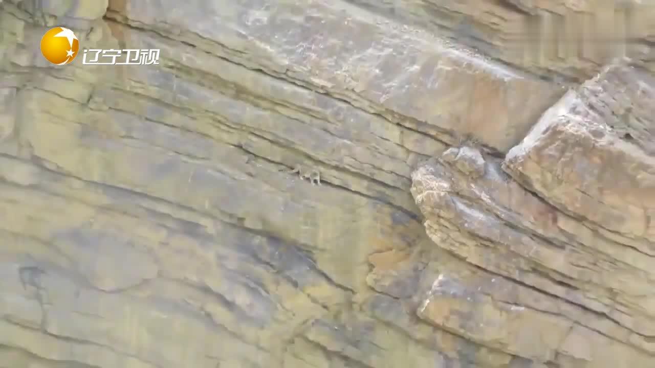 雪豹在悬崖峭壁上行走,从高处摔下,竟然一点事都没有