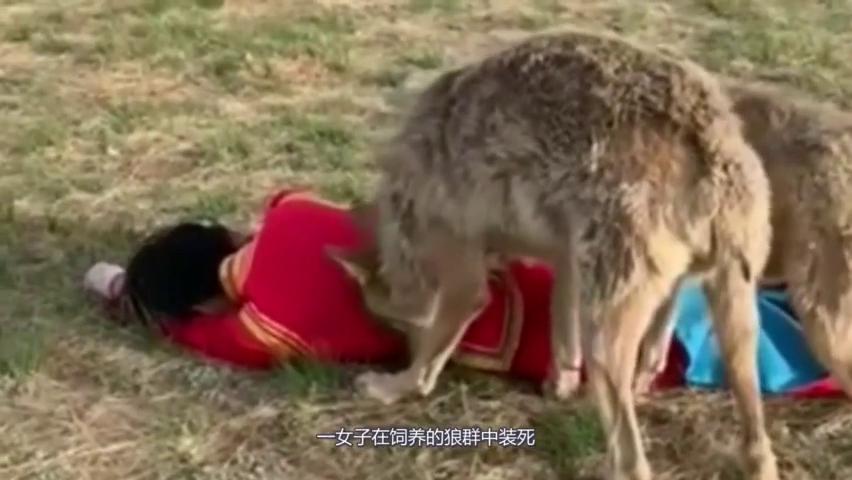 当女主人故意倒下,想看下狼群的反应,这胆子也太大了吧!