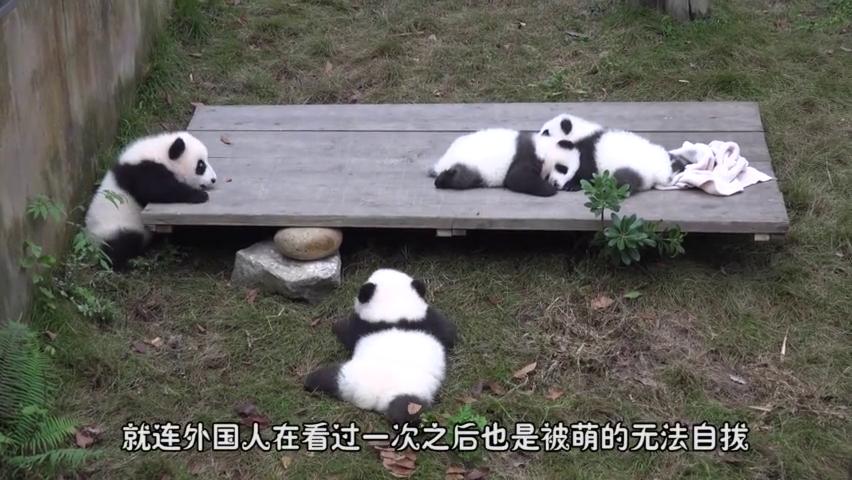 吃垮马来西亚的中国熊猫,没想到还是个挑食的货,厉害了我的宝!
