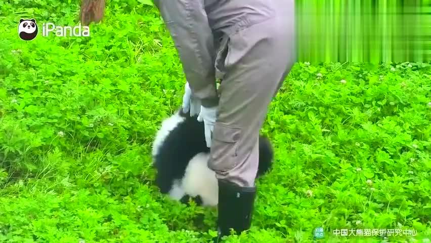 奶妈穿连体裤的原因是因为:大熊猫是抱大腿专业户