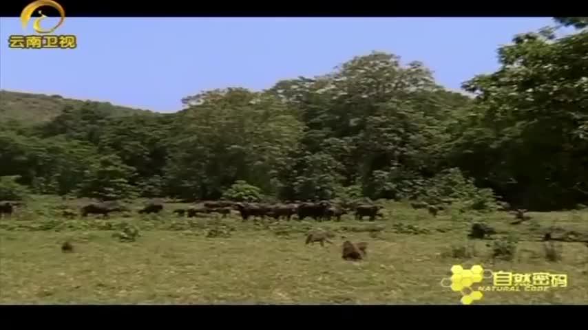 一群扁虱涌向水牛群,吮吸水牛身上的鲜血,摄像机拍下这一幕