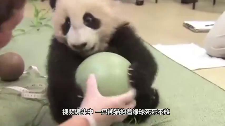 熊猫宝宝抱着绿球不肯撒手,团子:这是我的,你不要跟我抢
