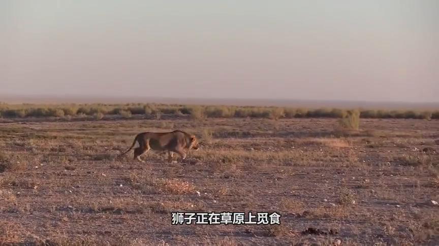 平头哥被豹子捕获,不甘被吃,与花豹战斗到最后一刻,好样的!