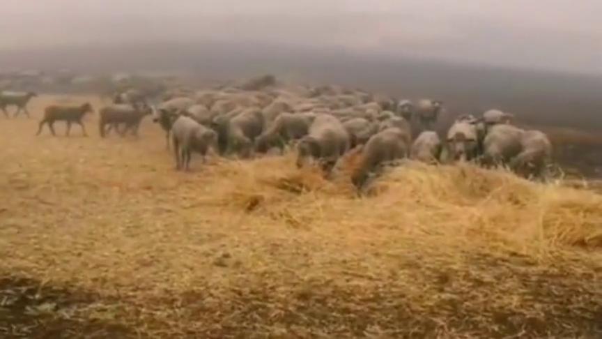 一条6岁的牧羊犬,在澳洲大火中拯救了一群羊,它是怎么办到的?