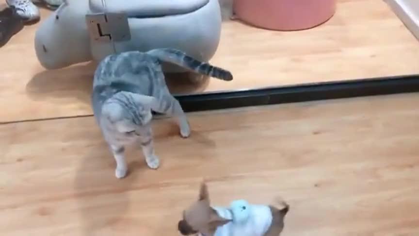 吉娃娃偷袭猫咪,猫咪一个转身拎着吉娃娃转圈,以后还敢不敢了