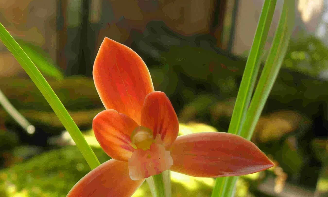"""兰中贵族""""红河红"""",花色艳丽,一杆双花,是养兰首选"""