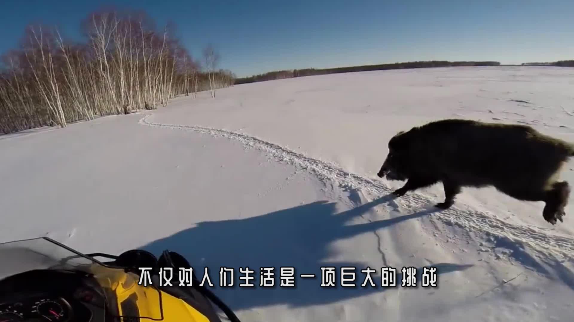 一群野马掉进结冰的湖中,坚持了40多分钟,好在被人及时发现!
