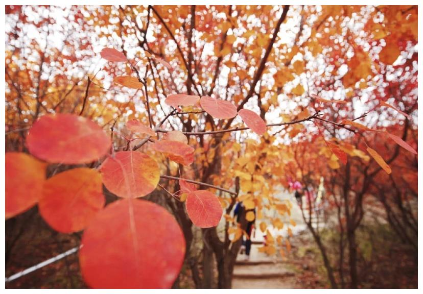 京郊这一赏秋地,一年只红20天,比香山更艳丽