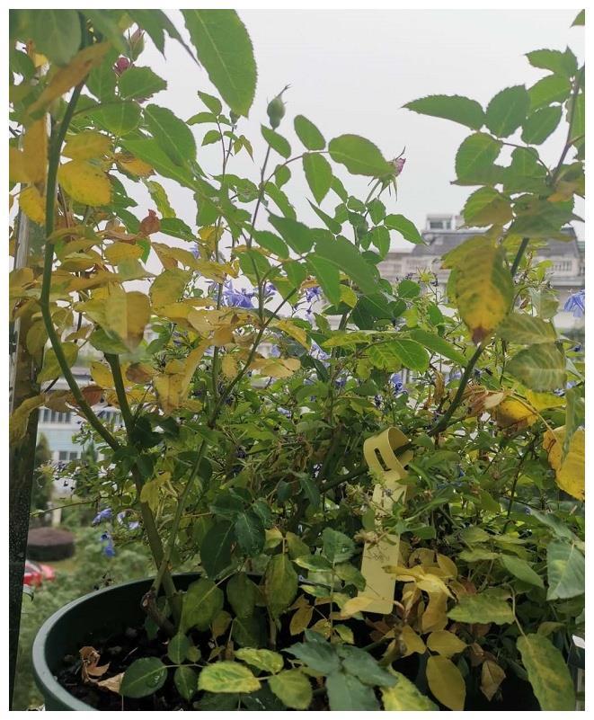 月季突然出现大量黄叶怎么办?别紧张多数是这个原因!