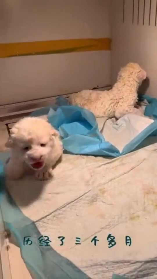 见识一下小白狮,真是太可爱了网友萌到犯规啊