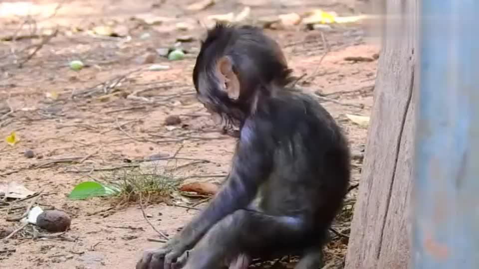 母猴子带娃,对小猴子照顾得还不错