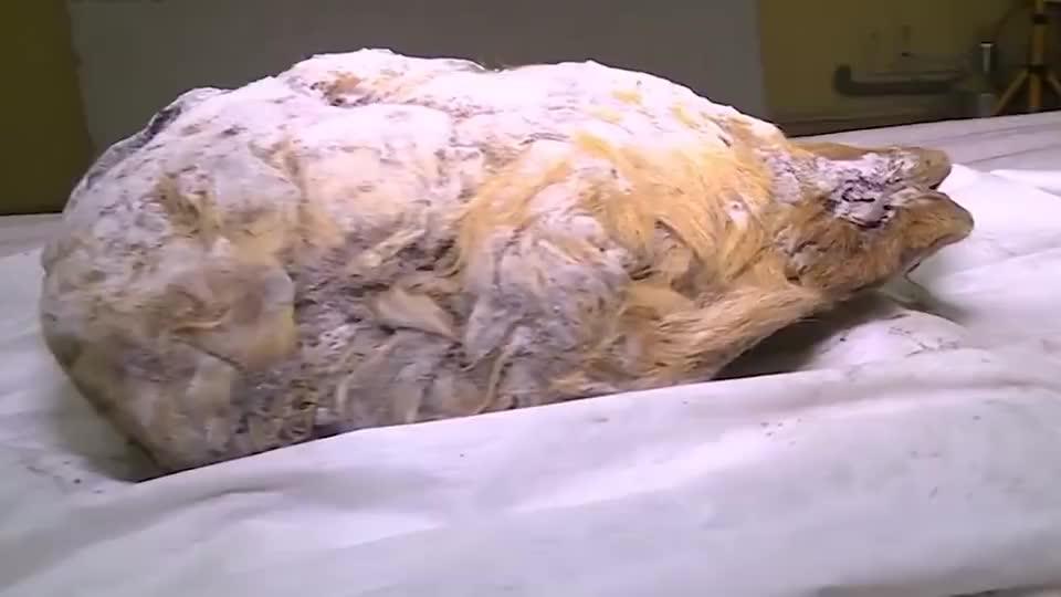 上古巨狼西伯利亚地区发现万年前狼头,狼头长达!