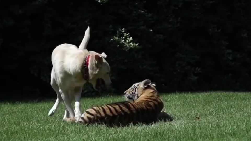 狗狗去看望一起长大的老虎,老虎一眼认出狗兄弟,画面让人感动