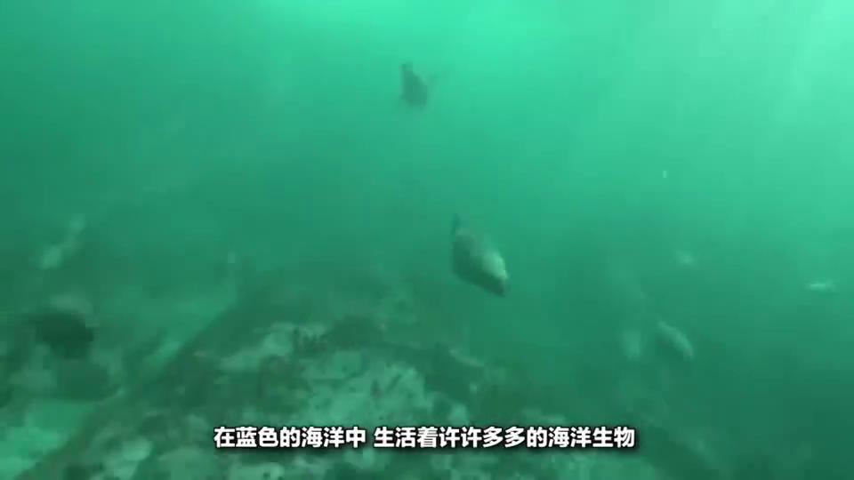 蓝鲸:蓝鲸体型巨大,行动起来很慢,为什么鲨鱼不会攻击蓝鲸?