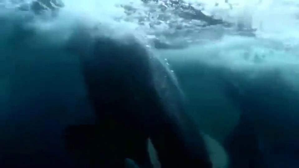 虎鲸:我们只是路过透气,你们还一股脑撒腿就跑!