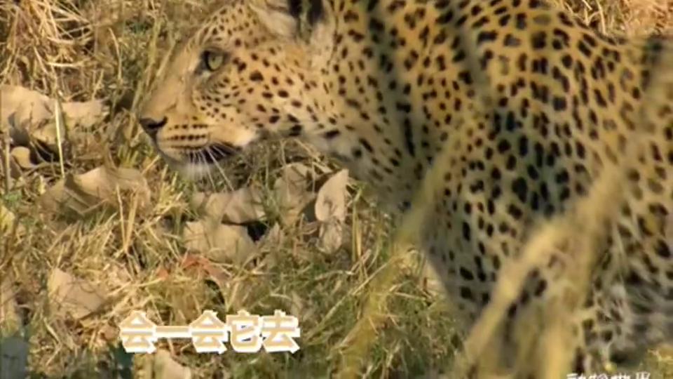 豹呢,总有那么一些好奇心的!猛兽也有如此萌的时候!