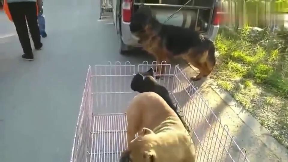 狗市上铁面卡斯罗和黑色卡斯罗幼犬憨厚可爱,这狗张大了很凶猛!