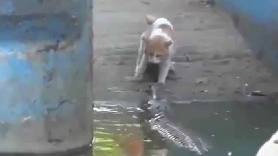 猫咪在水池边捉鱼,忽然冒出来一条鳄鱼:是鱼不?是鱼都归我管!