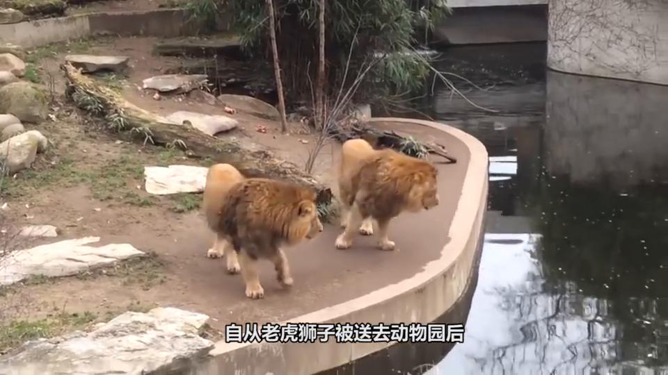 饲养员怕老虎孤单,送了只白老虎进去后,画面顿时尴尬了