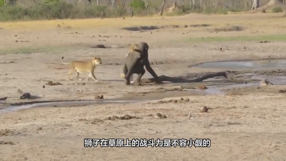 """狮子的力量有多大?一头狮子和3个""""肌肉男""""拔河,结果会如何?"""