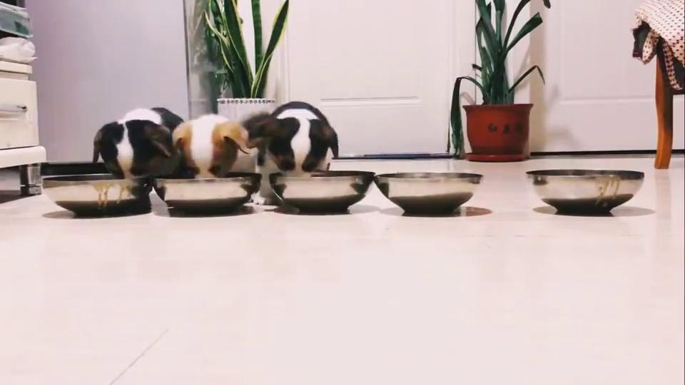 柯基小奶狗排队吃饭饭,主人:不许插队
