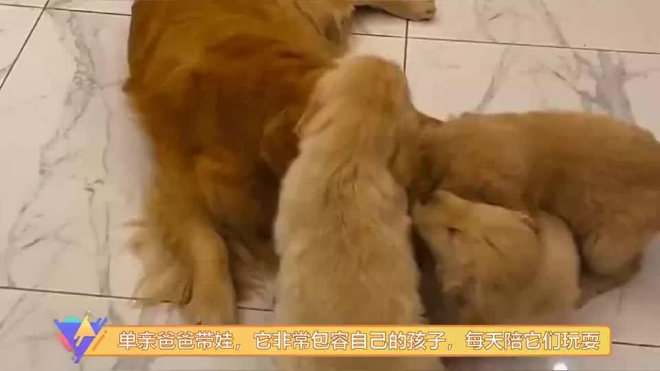 金毛单亲爸爸带娃,它非常包容自己的孩子,每天都陪孩子玩耍!