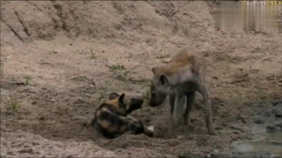 受伤的野狗遇上了饥饿的鬣狗,不经没打起来,还很和谐?