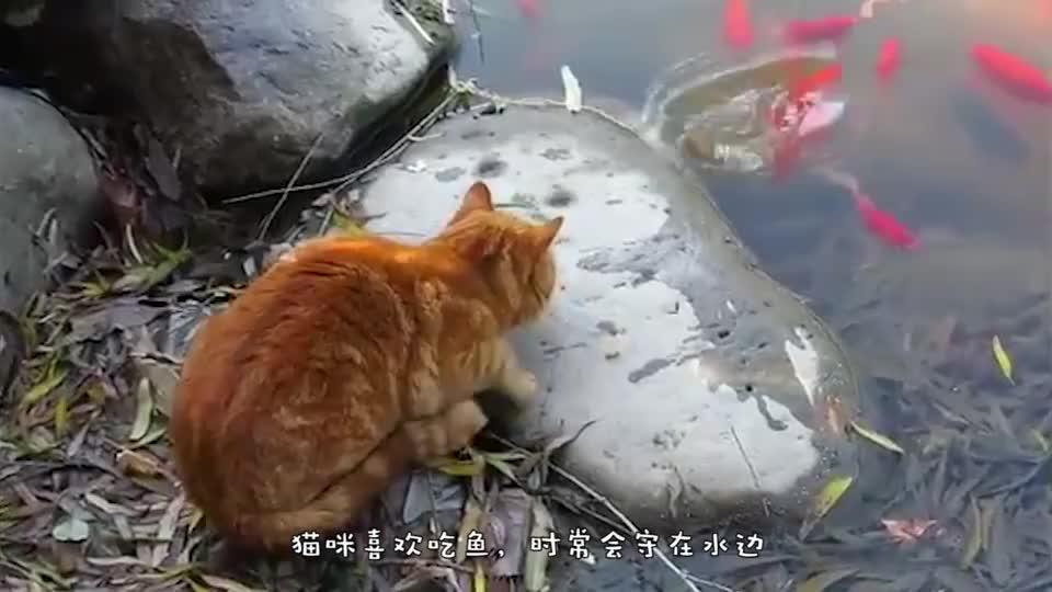 猫咪蹲在水池边准备捉鱼,忽然冒出来一条鳄鱼,猫咪瞬间怒了