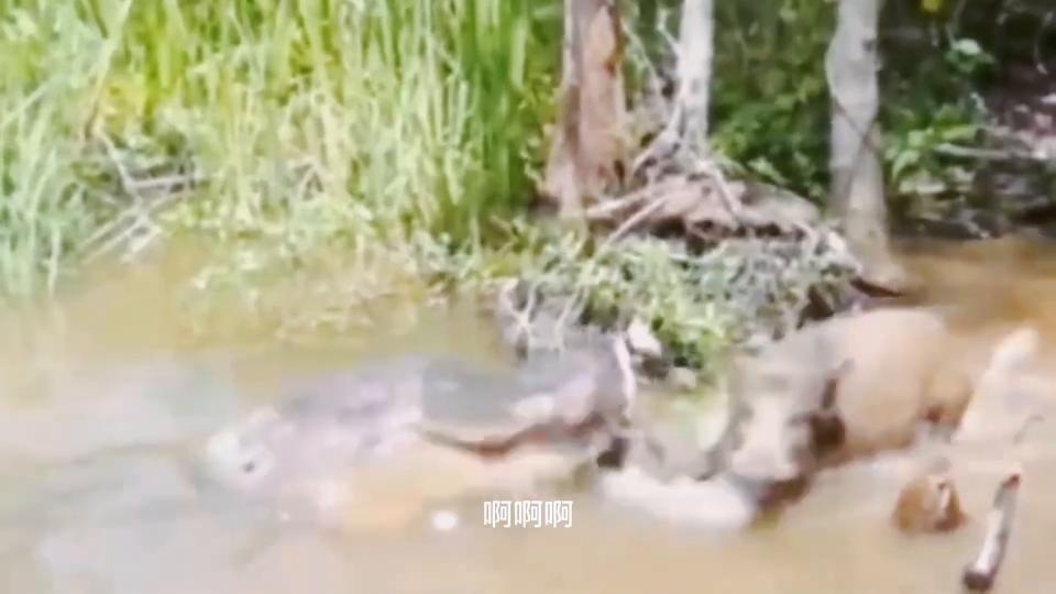 """动物园""""活投""""野猪到鳄鱼池,还没等野猪反应,一口溺死在水里!"""